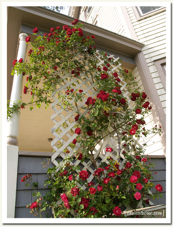 Ideas for planting climbing roses ~ Create a landscaping