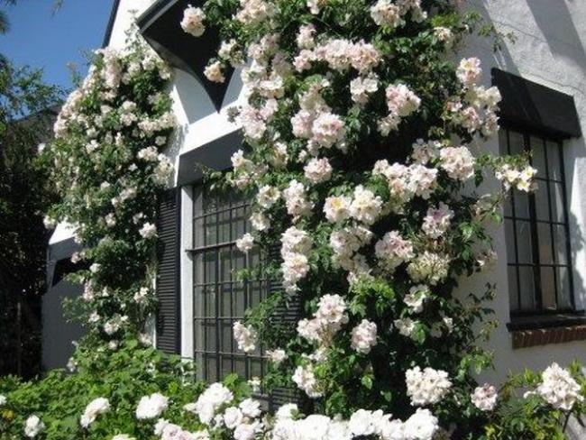Climbing Roses House Ideas