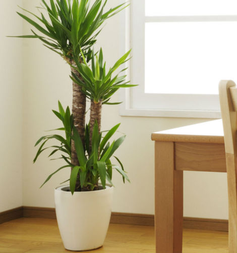 Indoor Plants at Rs 240 /piece | Indoor Plants - Chandra Farms