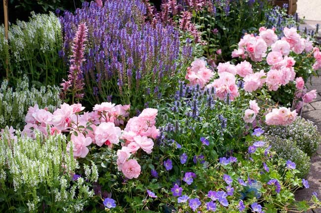 An Eye-Catching Border with Roses, Salvia and Geranium
